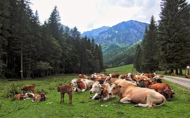 Kühe und Nachwuchs auf der Laussabaueralm