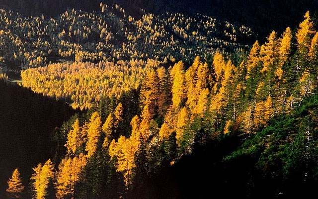 Die goldenen Lärchwälder am Lehnberg
