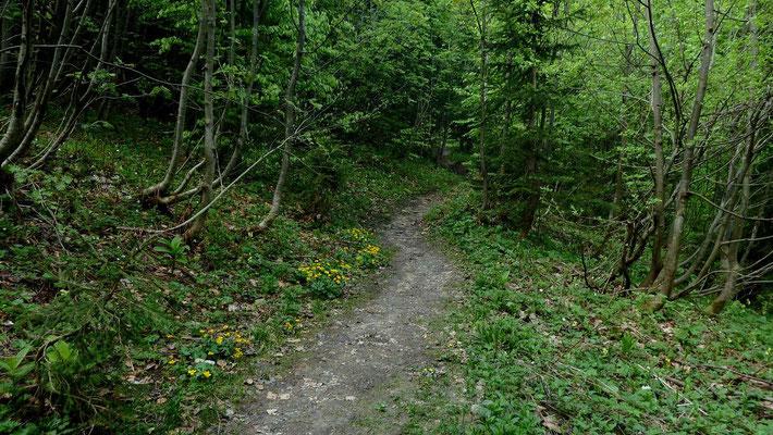 Haufenweise Sumpfdotterblumen und Schlüsselblumen im jungen Mischwald zwischen Schüttbauer Alm und Sandgatterl