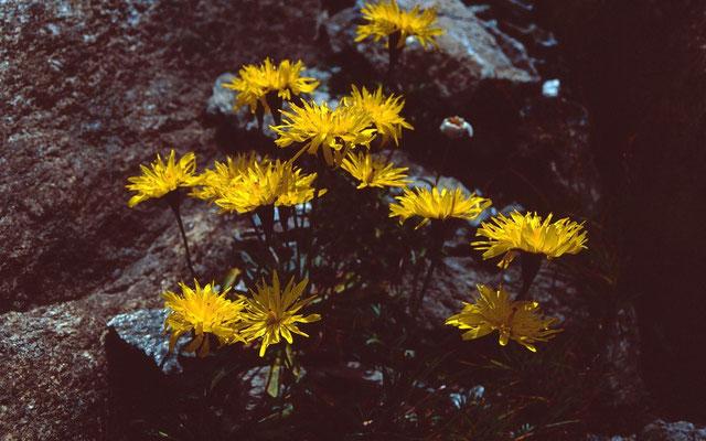 Bergblumen am Aufstiegsweg zum Eggishorn