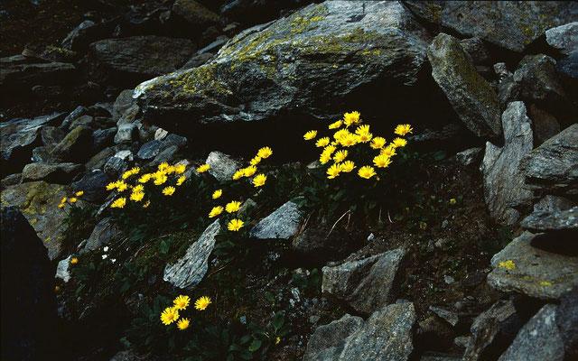 Immer wieder blühende Bergblumen mit leuchtenden Farben
