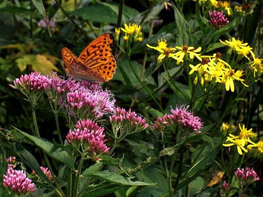 Distelfalter auf einer Blütendolde des Alpendosts