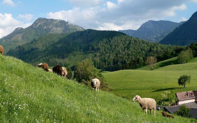 17.05.2015: Schafe am Kirchhügel