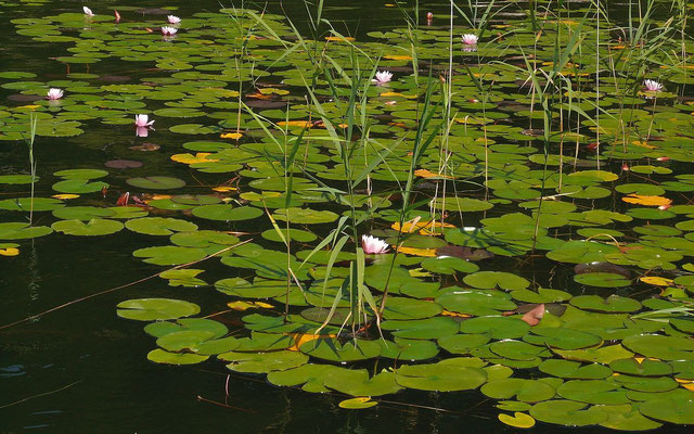Seschützte Seerosengürtel im Sommersbergsee