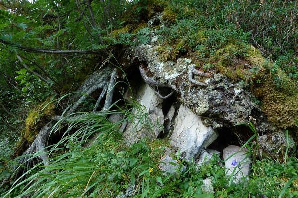 Fels-Wurzel-Pflanzengesellschaft oberhalb des Felsensteigs