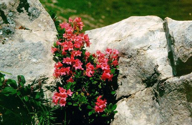 Alpenrosen auf dem Gebiet der Elsigenalp