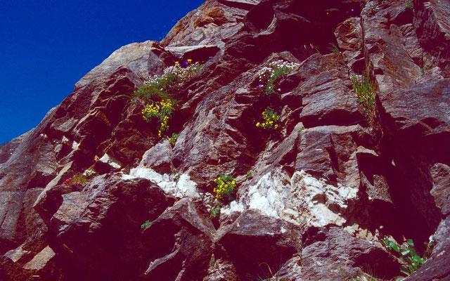 Zahlreiche Blütenpolster in der Felsflanke, durch die der Weg zur Kürsingerhütte führt