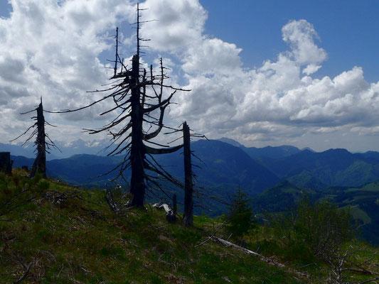 Viele abgestorbene und umgestürzte  Bäume gegen Nordwesten