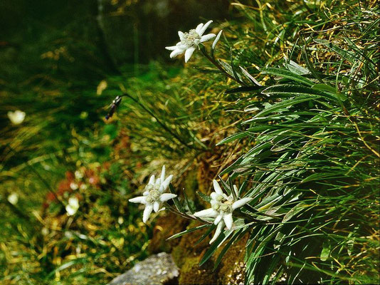Blühende Edelweiß am Steig zur Kürsinger Hütte