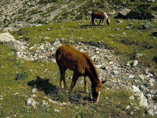 Haflinger auf dem Gebiet der oberen Valentinalm