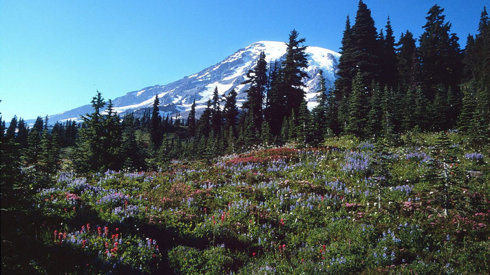 Red Indian Paintbrush und Ritterspornart auf Paradise am Mount Rainier
