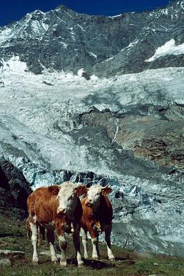 Kuehe auf der Gletscheralp