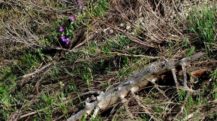Lila Felsprimeln  im Steilabfall der Bodenwies