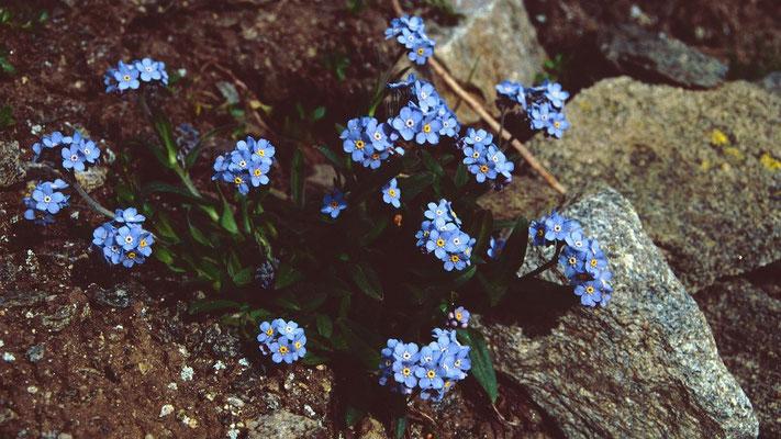 Vergißmeinnichtpolster am Rande des Aletschgletschers