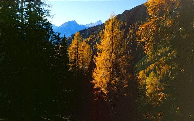Blick durch goldene Lärchen auf die Lechtaler Alpen beim Abstieg von der Wankspitze