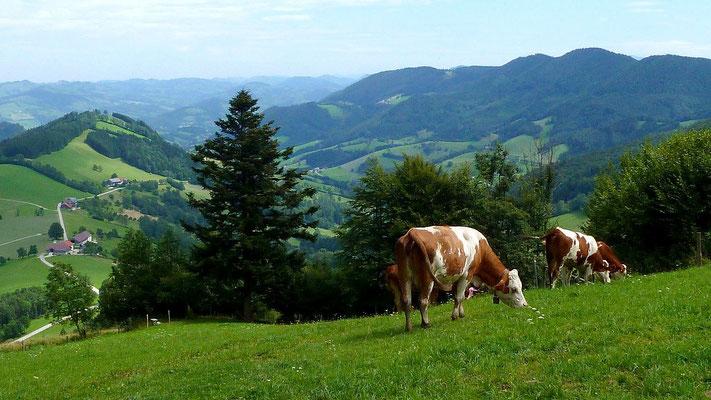 Kühe am Freithofberg.