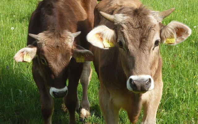 17.05.2015: Jungstiere auf der Weide bei Frauenstein