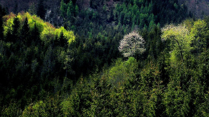 Blühender Baum am Hang im Bodinggraben