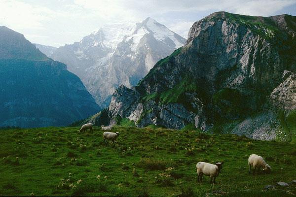 Schafe auf der oberen Allme. Hinten Balmhorn-Altels-Massiv