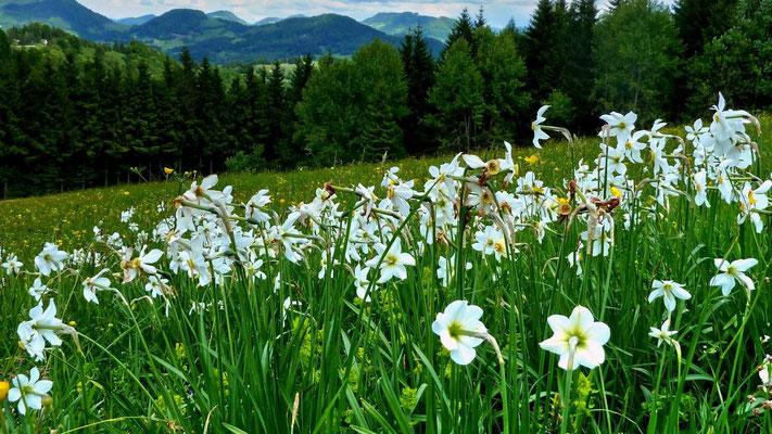 Weiße Nrzissen