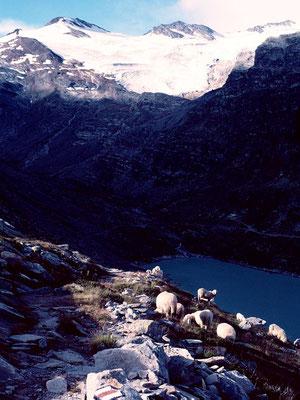 Schafe am linken Steig über dem Mattmark-Stausee
