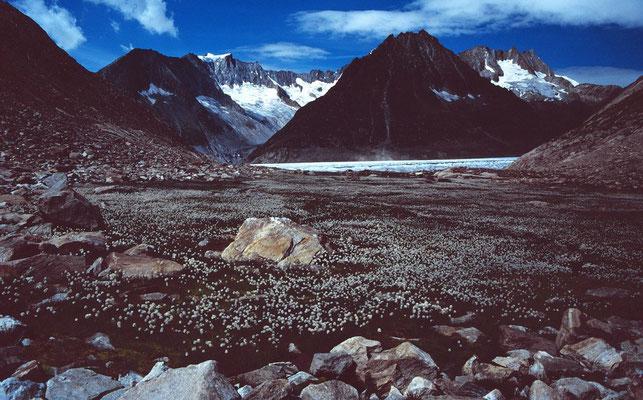 Weite blühende Wollgrasflächen im verlandenden Teil des Märjelensees
