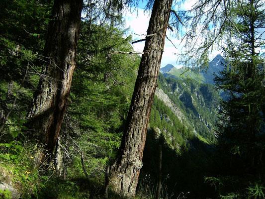 Im Lärchenwald unterhalb des Törls