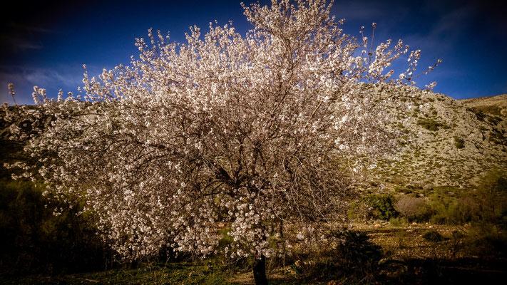 Der Frühling naht in El Chorro, Mandelbäume beginnen zu blühen.