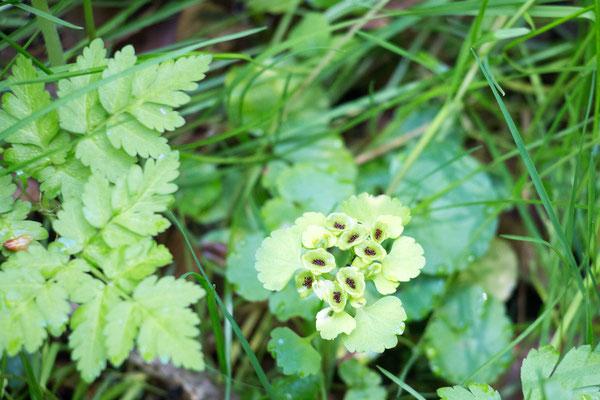 Wechselblättriges Milzkraut (Chrysosplenium alternifolium) Foto: B. Budig