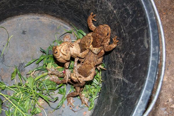 Erdkröten im Sammeleimer
