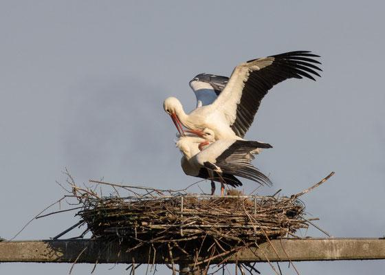 Storchenpaarung (Foto: L. Werner)