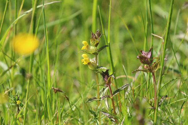 Kleiner Klappertopf (Rhinanthus minor) /Foto: E. Maier-Drös