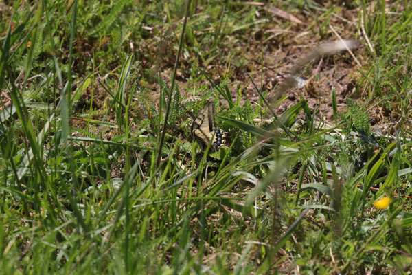 Schwalbenschwanz (Papilio machaon) Foto: E. Maier-Drös