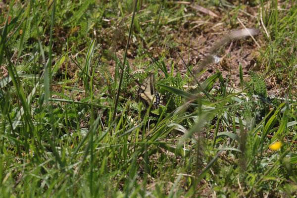 Schwalbenschwanz (Papilio machaon) /Foto: E. Maier-Drös