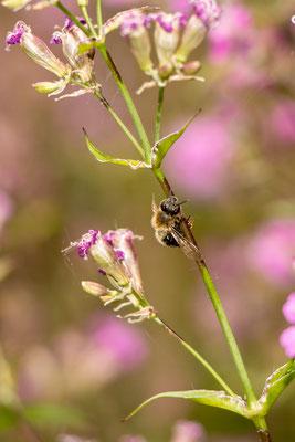 Pechnelke (Silene viscaria) mit klebender Biene (Foto: B. Budig)