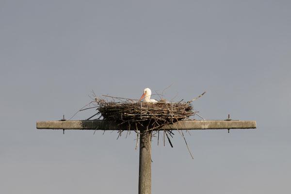 Unberingter Storch im Nest am 12.04.21 (Foto: H. Budig)