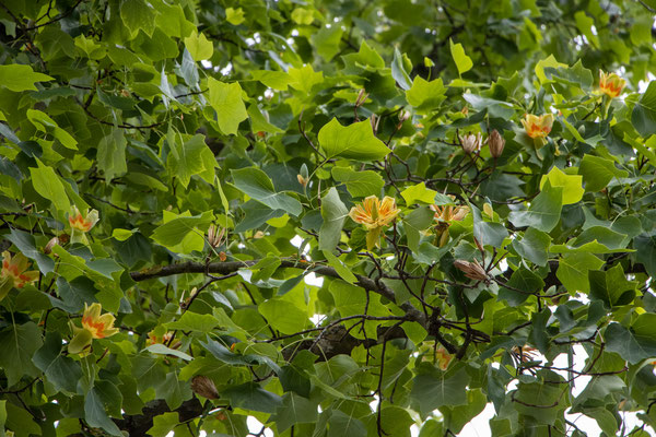 Tulpenbaum (Liriodendron tulipifera) (Foto: B. Budig)