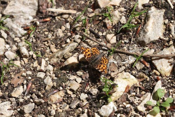 Landkärtchen (Araschnia levana var. levana) /Foto: E. Maier-Drös