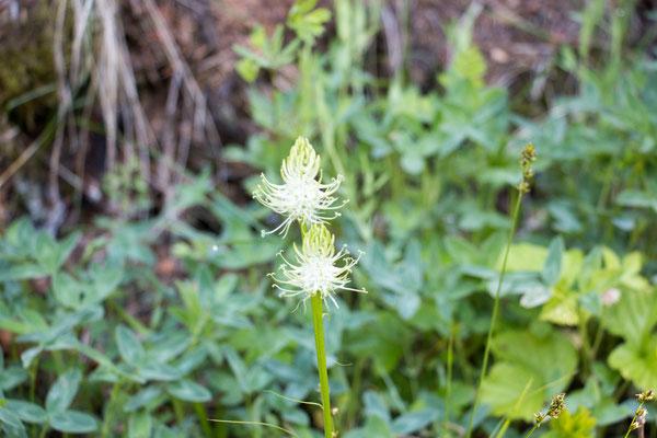 Ährige Teufelskralle (Phyteuma spicatum) Foto: B. Budig