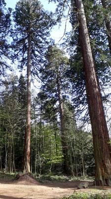Riesen-Mammutbäume