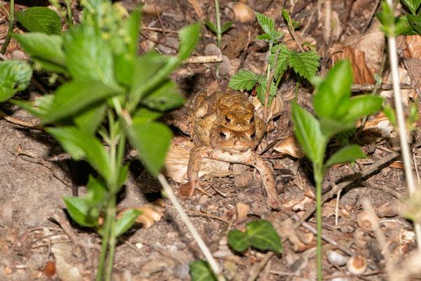Erdkrötenpärchen kommt aus dem Wald