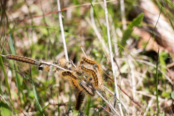 Wolfsmilchringelspinner (Malacosoma castrensis) /Foto: B. Budig