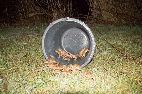 15 Erdkröten von der Weinbergstraße werden in die Freiheit entlassen (Foto: B. Budig)