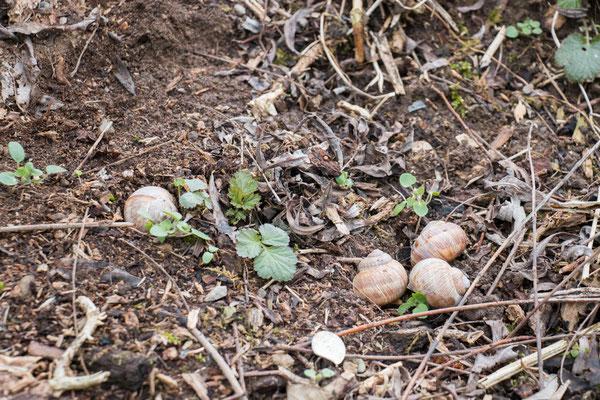 Weinbergschnecken, meist mit Kalkdeckel verschlossen