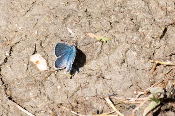 Bläuling M indet. (Lycaenidae) Foto: B. Budig