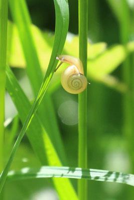 Genabelte Strauchschnecke (Fruticicola fruticum) /Foto: E. Maier-Drös