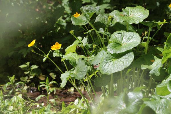Sumpfdotterblume (Caltha palustris) /Foto: E. Maier-Drös
