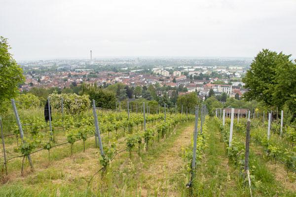 Weinberge (Foto: B. Budig)
