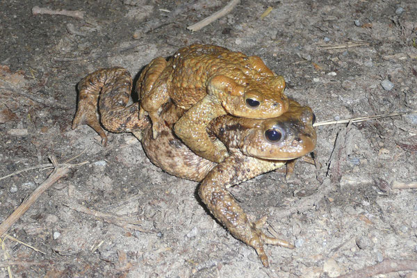Ein weibliche Tier mit aufsitzendem Männchen. (Foto: M. Budig)