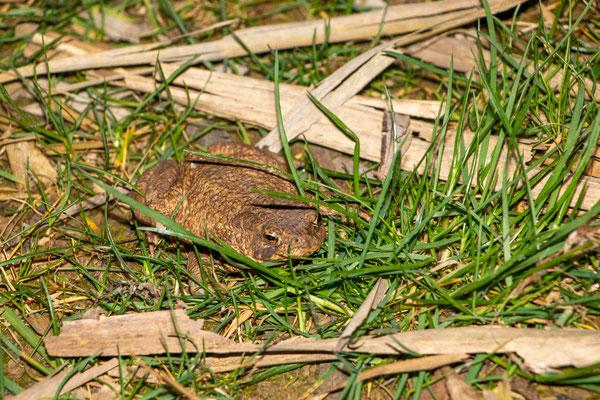 Erdkrötenweibchen (Foto: B. Budig)
